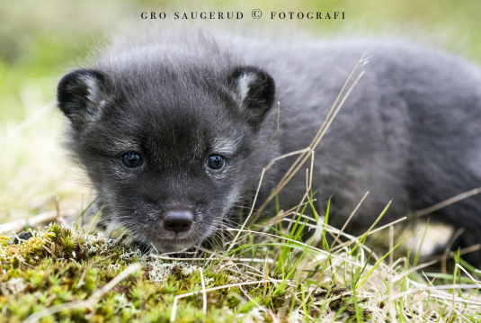 Polarfox pups at Langedrag
